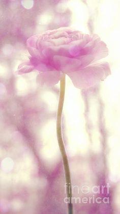 Rose Pearled Pink Penis Closeup Andring