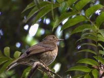 Ficheiro:SABIÁUNA fêmea ( Platycichla flavipes).jpg – Wikipédia