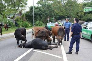 A Herd of Cattle Refused to Leave their Companion who Get Hit by Car