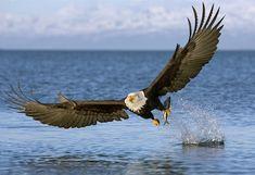 LIVE~~LAUGH~~LOVE~~: History of Bald Eagles