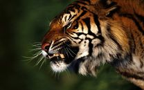 Angry rough tiger in the jungle awesome photo, 2012 free download