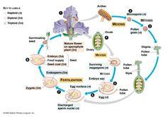 Daur hidup Angiosperma