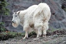 mountain+goat16 jpg