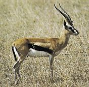 Gazelle | Wildlife | The Wildlife