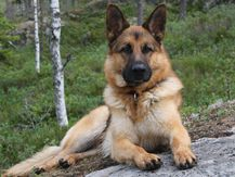 German Shepherd Wallpapers | Fun Animals Wiki, Videos, Pictures