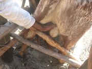 we castrated the our 2 little bulls using ring rubber method