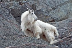 The Azure Gate: HOOFED MAMMALS: Mountain Goat StoriesVI