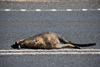 Wadjella Yorga: Road Kill