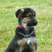 German Shepherd Dog Breeds Pictures | Dog Breed Pictures Small Large