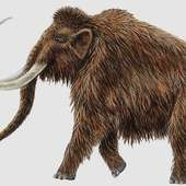 Woolly Mammoth | Animal Wildlife