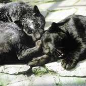 The Cobweb Panther (left) And A Normal Black Panther (right) At