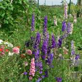 Larkspur Shirley Poppy Nigella Larkspur And Shirley Poppies Are A