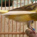 Daftar Harga Burung Kenari Terbaru Bulan November 2013