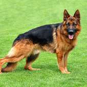 German Shepherd - Animals Photos