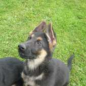 Did U Know? Curiosities On The German Shepherd Dog | One Dog Love