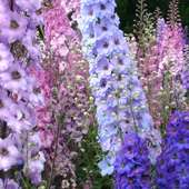 In Small Amounts Larkspur Flowers Can Be Used For Treatment The