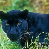 Black Leopard-Panther | The Wildlife