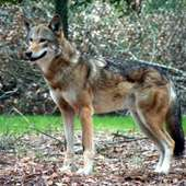 Red Wolf 23
