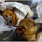 Jom Lihat Rumah Penyembelihan Anjing Untuk Di Jual