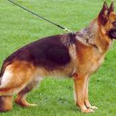 SHEPHERD DOG BREED LINES, ILLUSTRATED STANDARDS OF GERMAN SHEPHERD