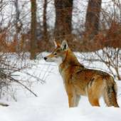 True Wild Life Red Wolf The Red Wolf Was Roamed Across The South