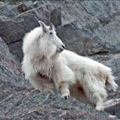 Mountain Goats To Lose Their Footing True More Of The Young Goats Or