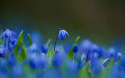 HD Wallpapers Pics: Blue Flowers Close Up Wallpapers