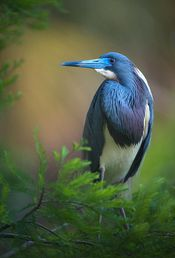 Ave azul del ed�n perdido  Beautiful paradise bird