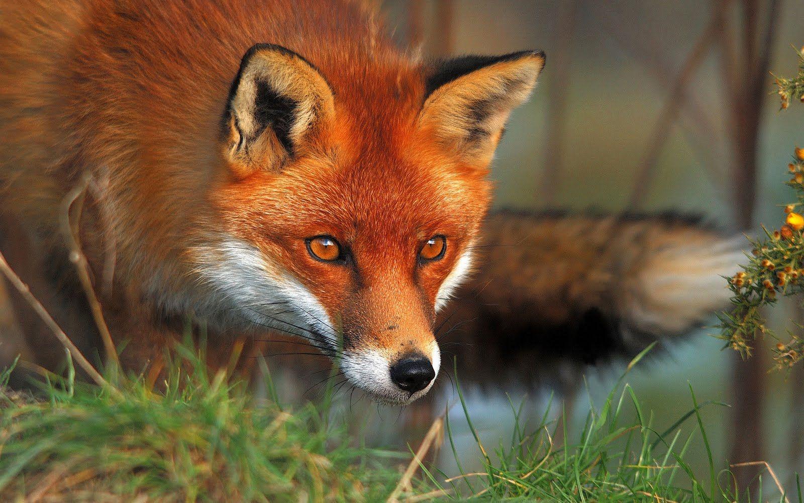 Foxy Di Foxi Flower