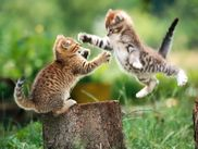 ALL DESKTOP'S WALLPAPERS: two pussy cats fighting wallpaer