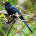 the asian koel is a bird named for its call koel is an onomatopoeia