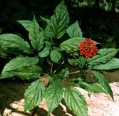 Everyday Health ???: Ginseng Plant