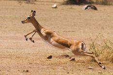 gazelle leaping african giraffe african wildlife safari gazelle
