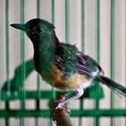 Tips Jitu Mengatasi Penyakit Kutu Pada Burung Kicauan                 |                  Tips Merawat Burung