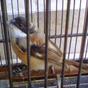 Resep Ronggolawe Untuk Mempercepat Mabung Pada Burung Pentet                 |                  Tips Merawat Burung