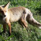 Find The Fox By Following The Scent Of The Fox