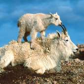 Mountain Goats Animal Facts And Information | All Wildlife Photographs
