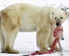 Polar Bear Skin Color The bears aren't declining
