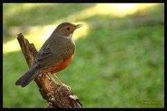 sabiálaranjeira,a ave simbolo do Brasil e também a mais conhecida