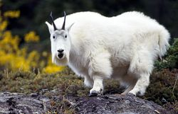 Mountain goats are not accurate goats however they are close relatives