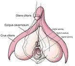 687pxClitorisanatomylabeleden jpg