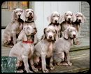 Grayhart Weimaraners: January 2012