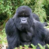 Mountain-Gorilla-1-AR.jpg