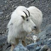 Here I Am Below The Mountain Goat Who Is A Thousand Feet Or More Below