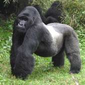 In The World Today: Why Are Mountain Gorillas Becoming Extinct
