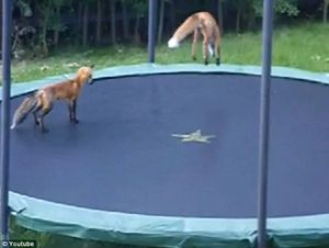 dailypetfwd: Gymnastic Mr Fox! Cubs sneak into garden to have a bounce