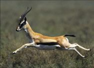 gazelle is an antelope of the genus gazella gazelles are known as