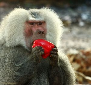 Hamadryas baboon ( Papio hamadryas ), feeding on red pepper