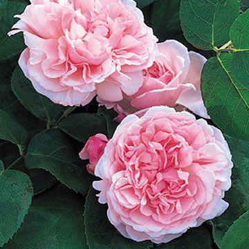 Missalice 18 Pink