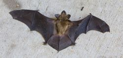 big brown bat another real bat picture ah my love affair with bats